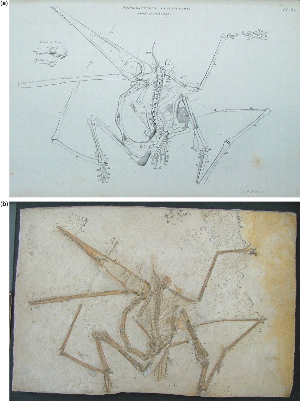 The early history of pterosaur discovery in Great Britain ...