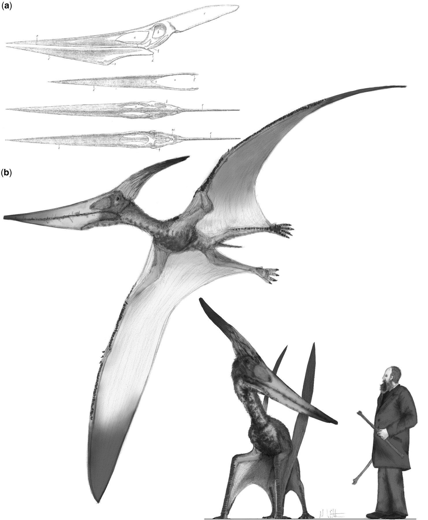 Pteranodon and beyond  the history of giant pterosaurs from 1870 ... 4fbe3738c